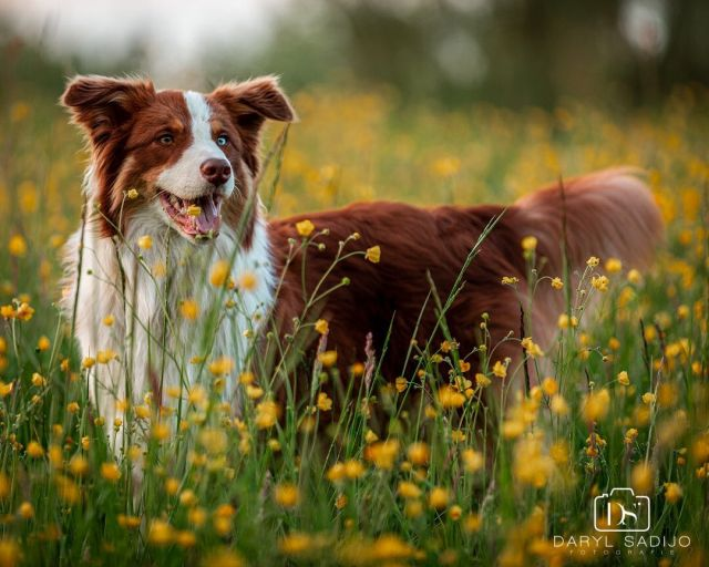 🇬🇧 Another shot of River 🐶, what's your favorite dog breed? ⭐ 🇳🇱 Nog een foto van River 🐶, wat is jouw favoriete hondenras? ⭐ •⁠ •⁠ 🐶‍ @aussieriver_ •⁠ •⁠ 📸 Shot with Canon EOS 5D mark IV + Canon EF 70-200mm f/2.8L IS II USM •⁠ Manual 200MM 1/200 f/2.8 ISO: 400 •⁠ ©️ 2018-2020 Daryl Sadijo Fotografie All right reserved⁠ •⁠ •⁠ •⁠ #dogphotography #allround #animalplanet #hondenfotografie #portretfotograaf #portraitphotographer #australianshepherd #australianshepherdsofinstagram #australianshepherdlove #aussielovers #pets #huisdier #theaussiefans #hond #hondje #dog #dogs #bokeh #hondenfoto #dutchdogsofinstagram #animalphotography #animalphotographer #dierenfotograaf #animallovers #animals_in_world #animalsofinstagram #allroundfotograaf #mothersday #darylsadijofotografie #cameranu_dier20